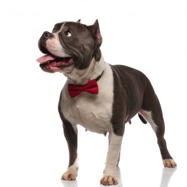The Truth About The American Bully K9 Web