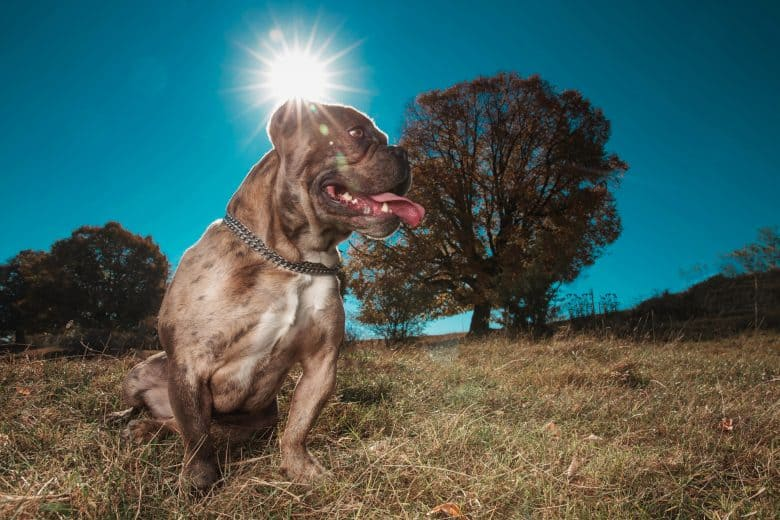American Bully sitting in the sun