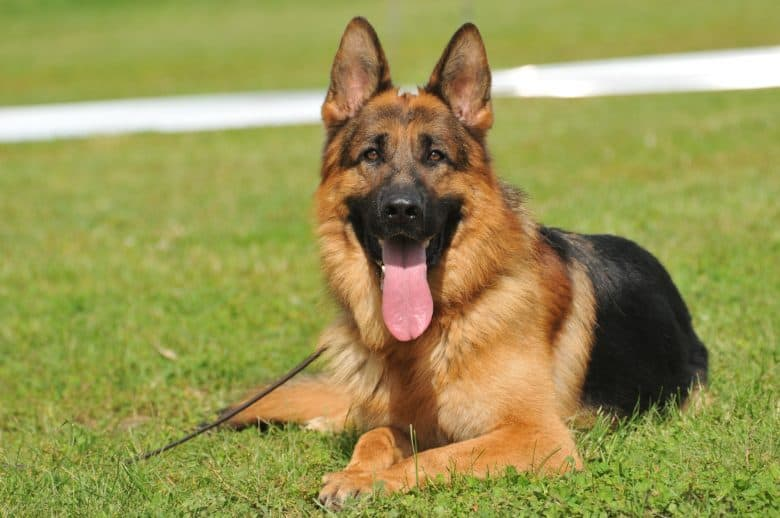German Shepherd resting on the grass with tongue out