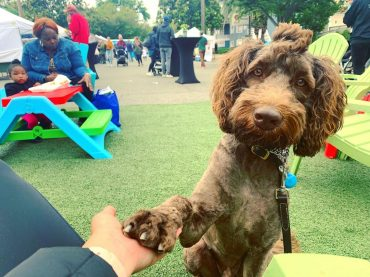 Shaved brown Labradoodle with its paw on its human