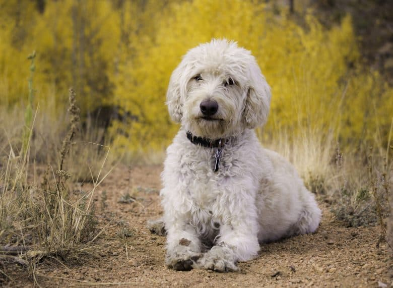 White Labradoodle dog resting on a trail near Sheep Rock in the Front Range of Colorado.