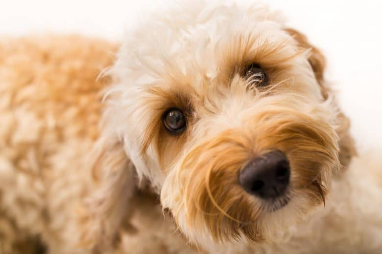 Close-up picture of an apricot-colored Labradoodle