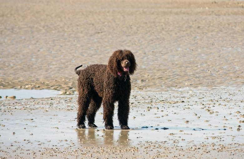 Chocolate Labradoodle dog on a wet beach sand