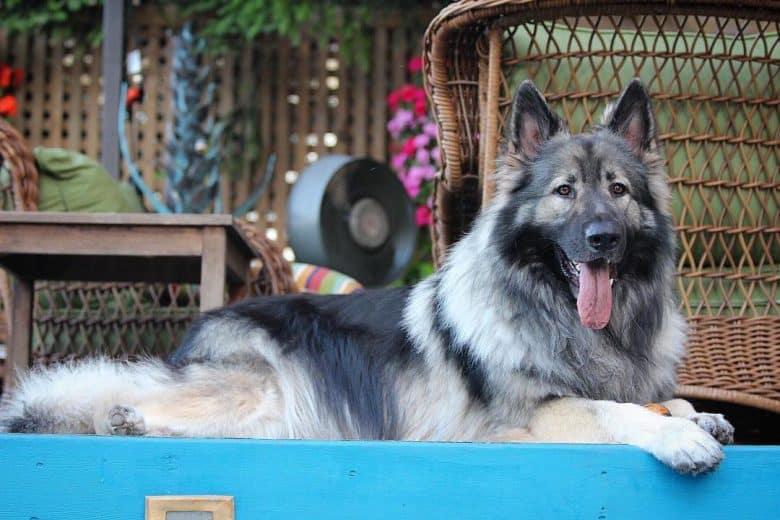 black and white Shiloh Shepherd sitting on a porch