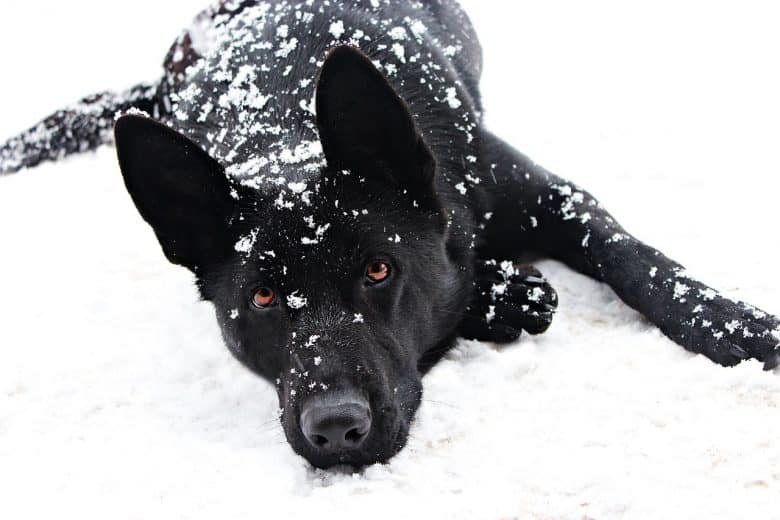 Here is a photo of a Black Shepherd covered in snow