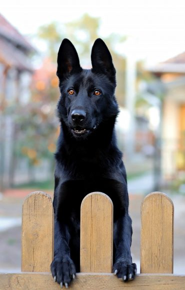 Black German Shepherd looking over a wooden fence