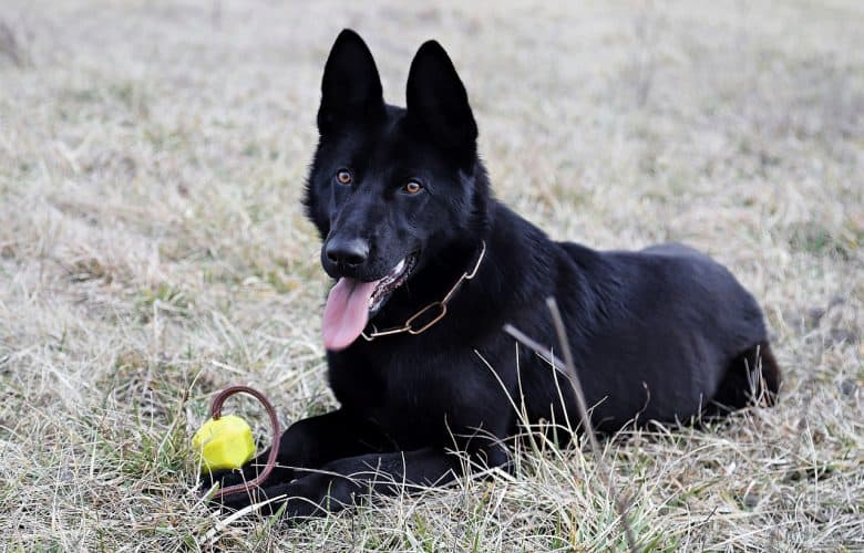 Black german shepherd outside with a toy