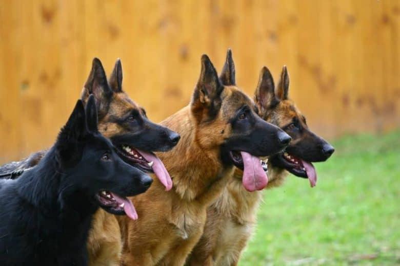 four german shepherds - regular and black german shepherd