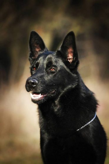 The Black German Shepherd A Guide To This Rare Dog K9 Web