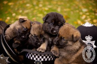 black german shepherd litter of different-colored puppies