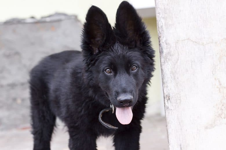 A cute photo of a 1-year-old Black German Shepherd