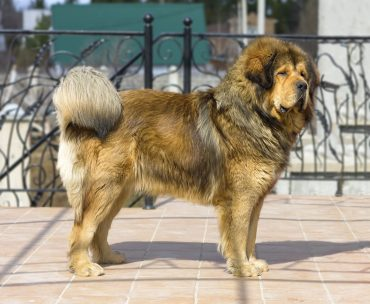 Whole body photo of a beautiful Tibetan Mastiff
