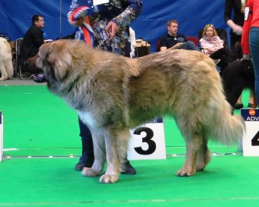 Adult Russian Bear Dog in a dog show