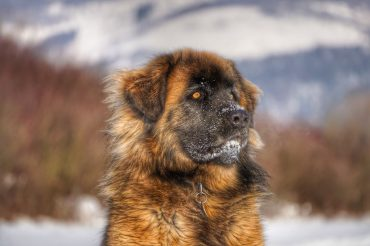 Close-up photo of a Russian Bear Dog outside, with a bit of snow on its face