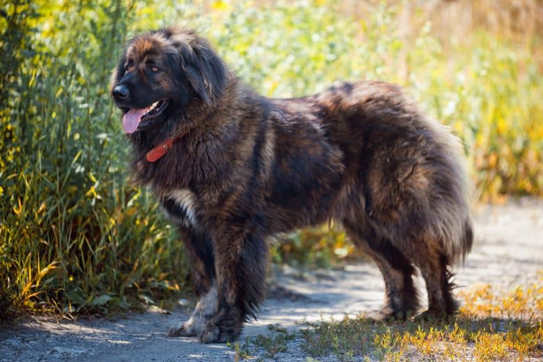 Russian Bear Dog with a collar is outside enjoying a walk