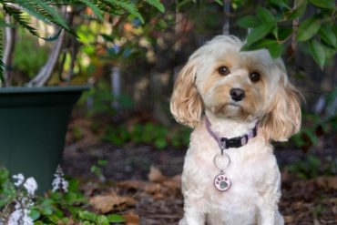 A Cavapoo with a collar, surrounded by greenery