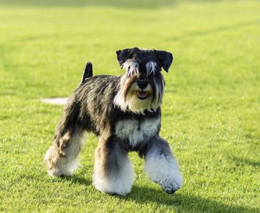 A small black and silver Miniature Schnauzer dog walking on the grass, looking very happy.