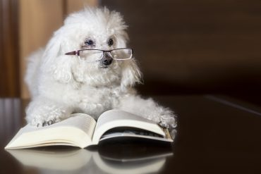 A white poodle with glasses, reading a book