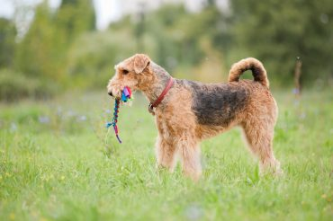 Black and Brown Airedale playing with rope toy outdoors