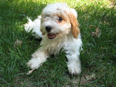 A cute Cavapoo laying in the grass
