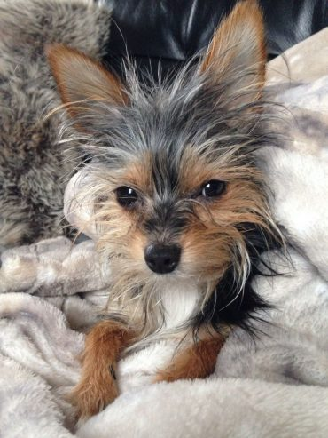 A Chorkie laying on a blanket