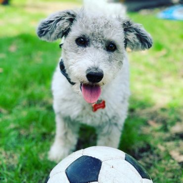 Young Corgipoo with floppy pointed ears beside a soccer ball