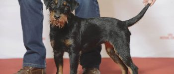 Jagdterrier in a dog show with its owner/handler