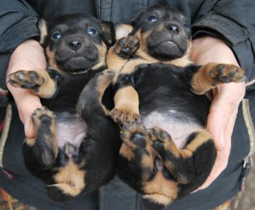 German Hunting Terrier puppies lie on the palm of a human's hands