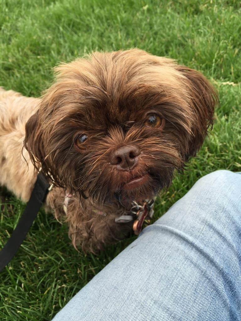 A Shorkie close up