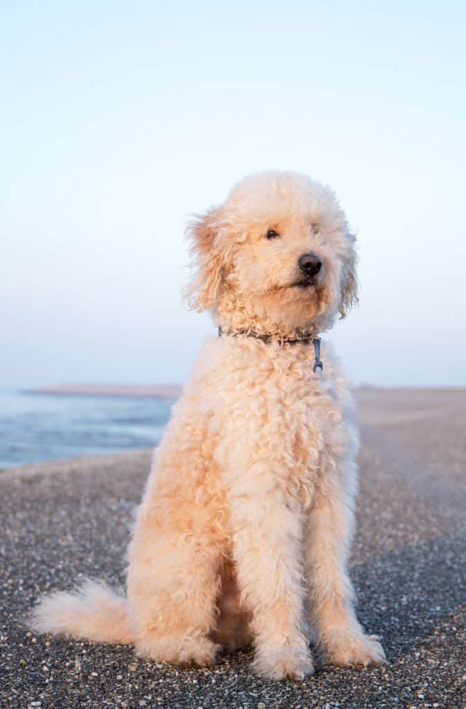 A Yorkie Poo sitting on the sand