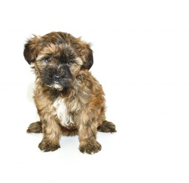 Cute Yorkie Poo puppy sitting