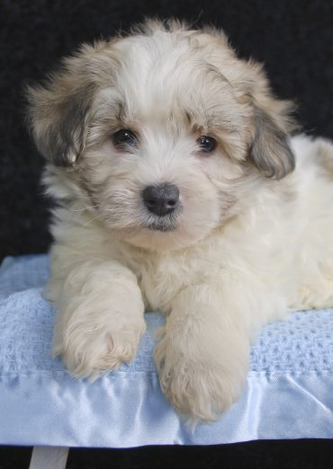 A Maltipoo close up