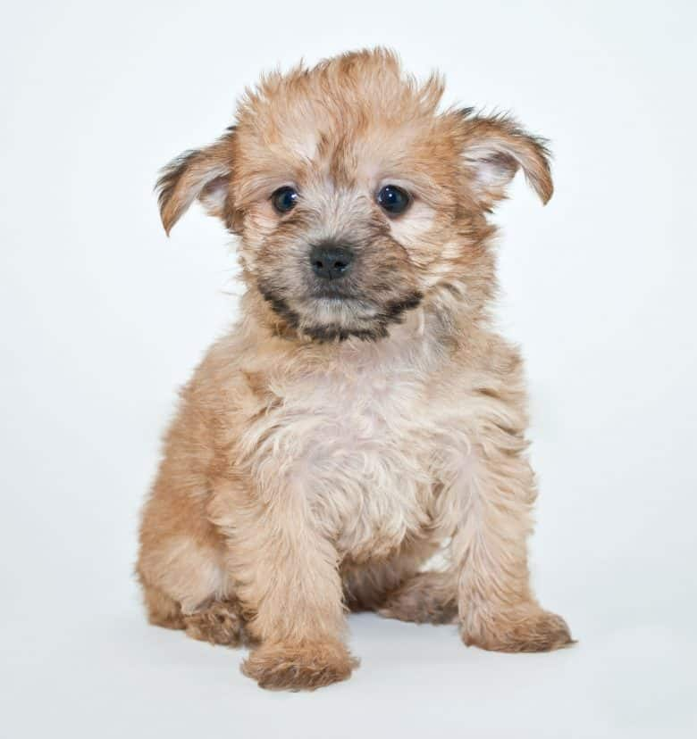 A Yorkie Poo puppy looking at the camera