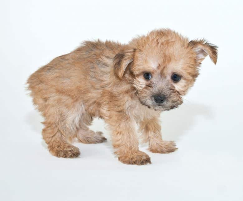 A tiny Yorkie Poo puppy standing up