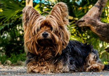 The Yorkshire Terrier relaxes outside