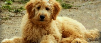 A cute Goldendoodle with a bow on its head