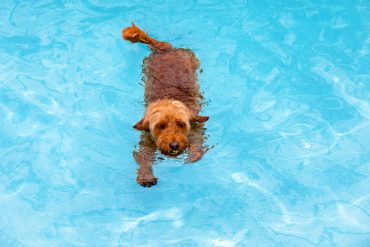 Mini golden doodle swimming in salt water pool fetching ball
