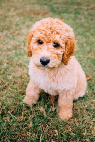 A Goldendoodle that looks like a teddy bear