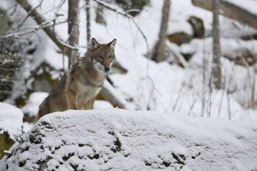 The other parent of the Czech Vlcak, the Carpathian wolf