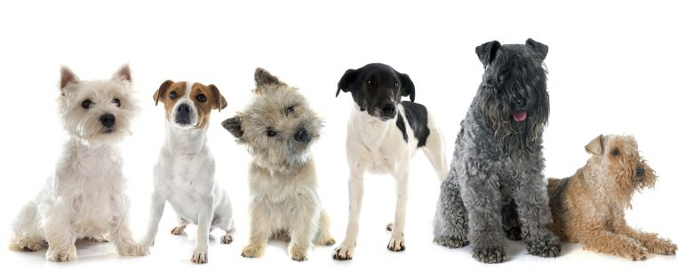 A group photo of some Terrier dogs