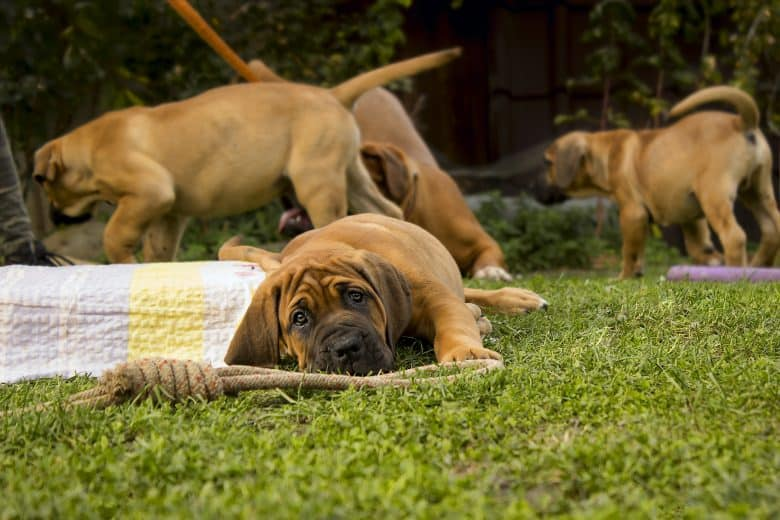 South African Boerboel puppy enjoying playtime outside