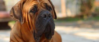 close-up photo of a Boerboel dog