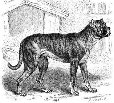 Bullenbeiser - the Boerboel's ancestor