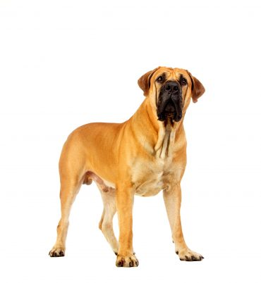A Boerboel dog on a white background