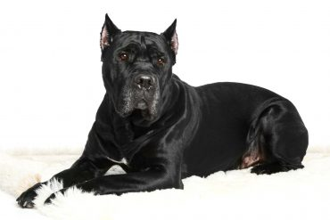 A Cane Corso dog laying on a white background