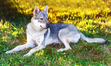 A Czechoslovakian Wolfdog sitting on the grass