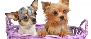 A Chihuahua and Yorkshire Terrier mixed in a basket