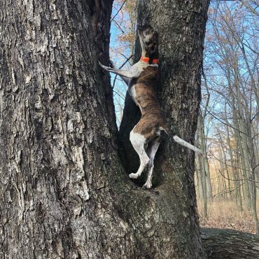 Feist dog barking up on a squirrel on a tree