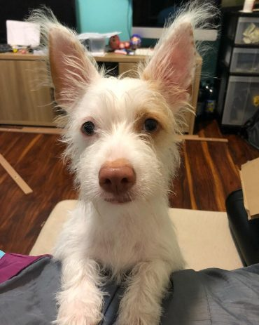 A Fox Terrier-Chihuahua mix with perky ears