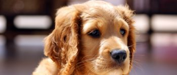 A close-up photo of a Golden Cocker Retriever puppy